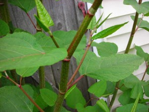 Picture of japanese knotweed, also known as fleeceflower.