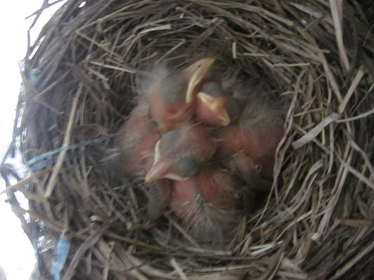 Robins often lay an unfertilized egg, so the four/three mismatch doesn't necessarily mean someone didn't make it.