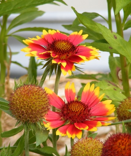 Dohiy.com - Blanket Flower Seed Heads