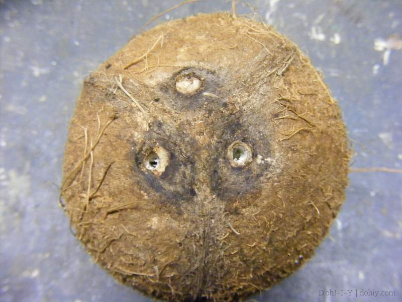 A coconut with two holes