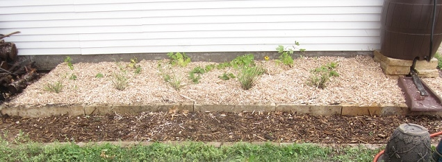 Mulched Hops Bed
