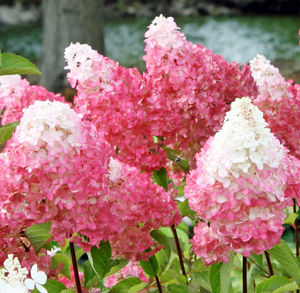 Vanilla Strawberry Hydrangea (from Proven Winners)? Can we order 25 of them??
