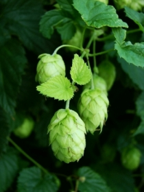 Hops flowers (via beersmith.com)