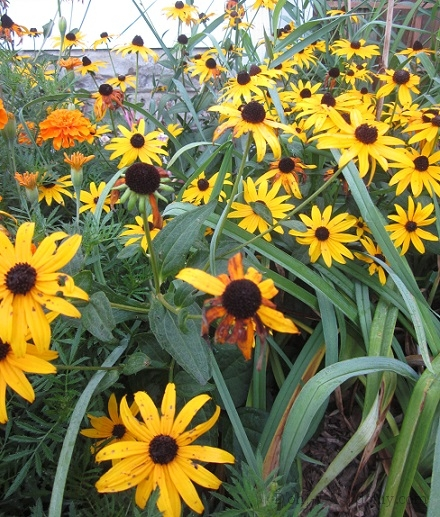 Wintersown rudbeckia