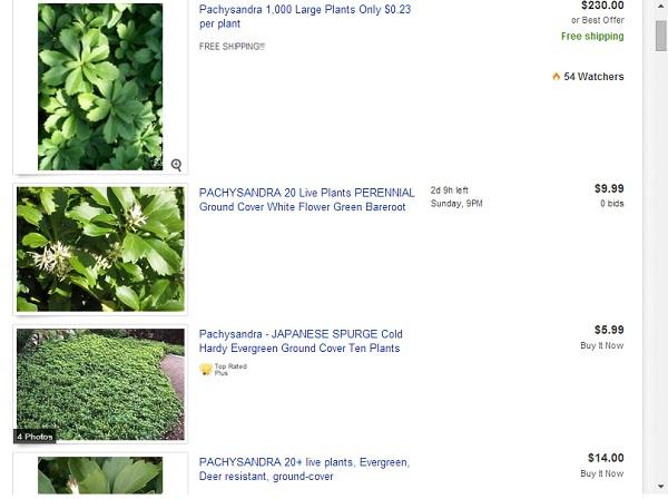 Pachysandra Listings