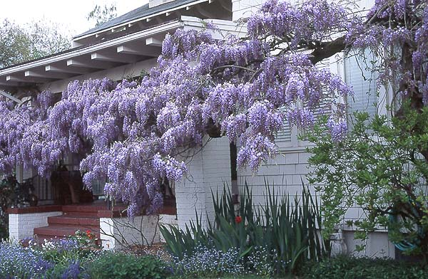 Which wisteria is which? (via)