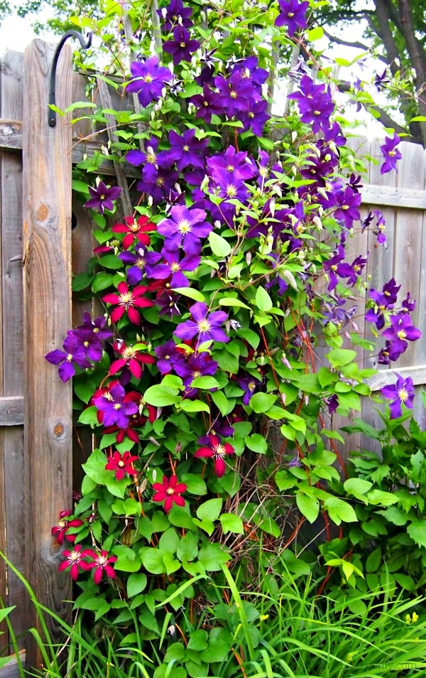 Niobe (red) and Viola (purple) clematis on a shared trellis