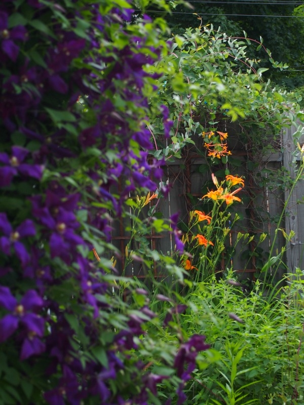 Ditch lilies peeking from behind Polish Spirit clematis