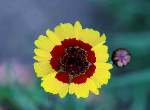 coreopsis mardi gras cornell