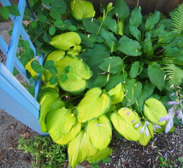 """Stained Glass"" Hosta -- one of the only fancy-pants hostas I have."