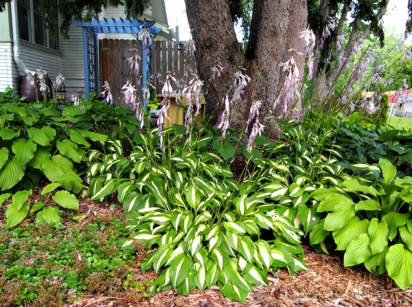 Massed variegated hostas (between massed solid hostas)
