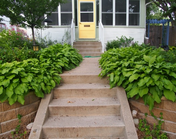 """Royal Standard"" hostas lining the walk to our door -- all of these came from dividing an original set of eight weenie plants."