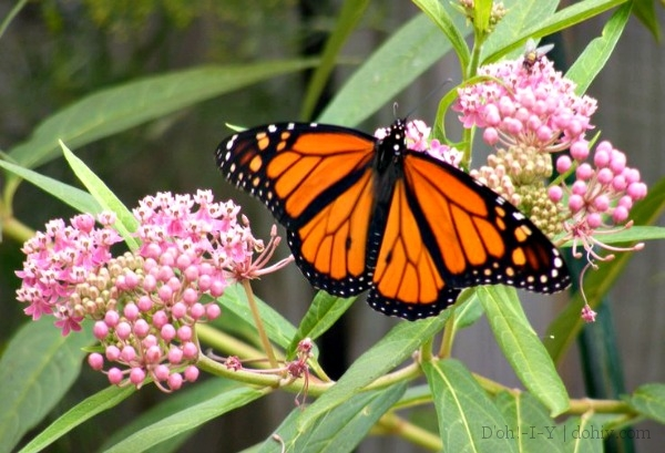 milkweed monarch full