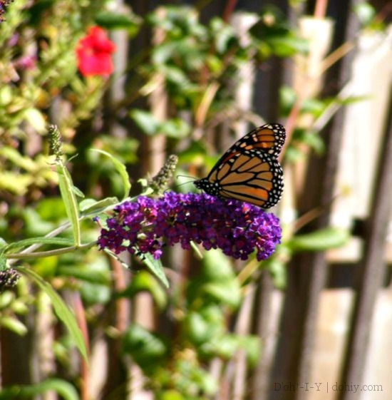 Buddleia is good for nectar, but not for eggs