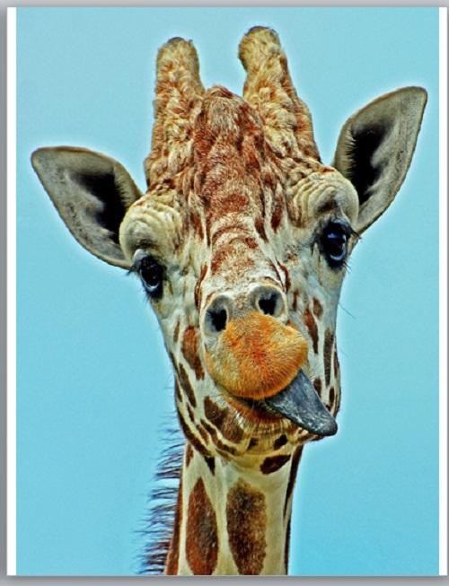 Letter-sized giraffe
